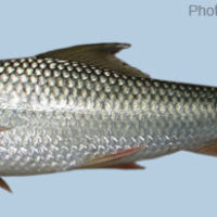 Cirrhinus cirrhosus