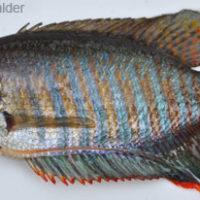 Colisa fasciatus