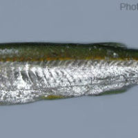 Salmostoma phulo
