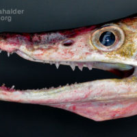 Head of Daggertooth pike or Canger eel or Mur