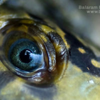Eye of Freshwater turtle