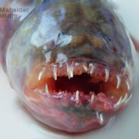 Teeth of Rubicundus Eel Goby, Odontamblyopus rubicundus