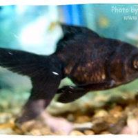 Goldfish, Carassius auratus (Black Moor)
