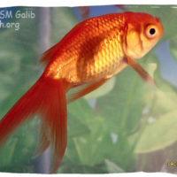 Goldfish, Carassius auratus (fantail)