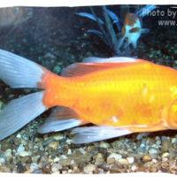 Goldfish, Carassius auratus (Gold comet)