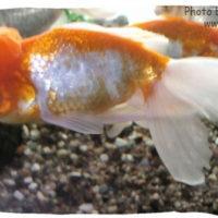 Goldfish, Carassius auratus (Oranda)
