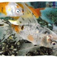 Goldfish, Carassius auratus (Subunkin)