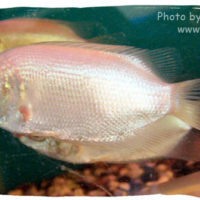 Kissing Gourami, Helostoma temmincki