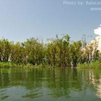 Freshwater mangrove, Matian haor, Tahirpur, Sunamganj