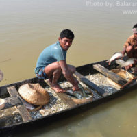 Harvesting in Soma river, Derai, Sunamganj