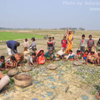 Sorting of harvested fish, Tedala beel, Sunamganj