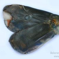 Uropod of Macrobrachium rosenbergii