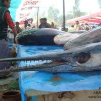 সামুদ্রিক কাঁকিলা বলেই বিক্রি হচ্ছে এই মাছ