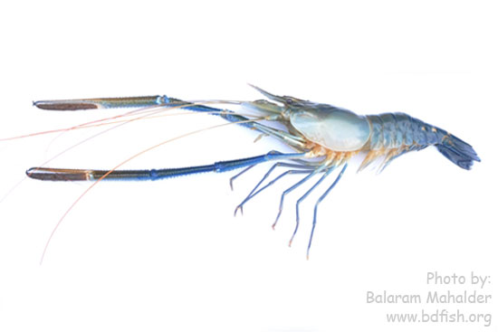 Appendages of Giant river prawn, Macrobrachium rosenbergii