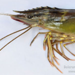 Appendages of Giant tiger prawn, Penaeus monodon