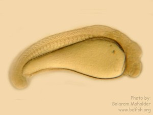 Embryonic Developmental Stages of Grass Carp