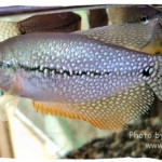 Exotic Ornamental Fishes of Bangladesh Episode 3
