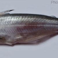Eutropiichthys murius