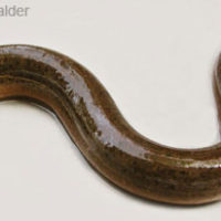 Monopterus cuchia