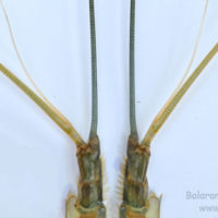 Antennule of Macrobrachium rosenbergii
