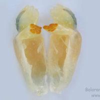 Mandible (Ventral view) of Macrobrachium rosenbergii