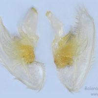 Maxilla of Macrobrachium rosenbergii