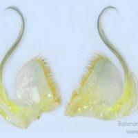 First maxillipede of Macrobrachium rosenbergii