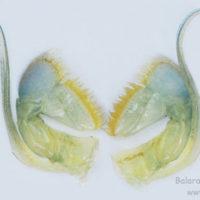 Second maxillipede of Macrobrachium rosenbergii