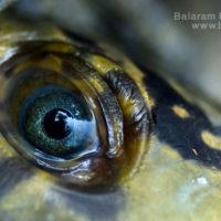 Eye of Freshwater turtle