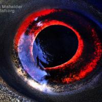 Eye of Labeo rohita