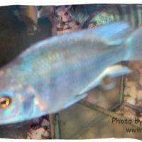 Blue Dolphin Cichlid, Boulenger moori