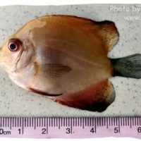 Discus, Symphysodon discus (brown discus variety)