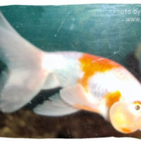 Goldfish, Carassius auratus (Bubble Eye)
