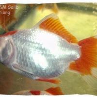 Goldfish, Carassius auratus (Red Cap)