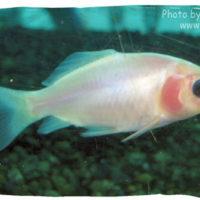 Goldfish, Carassius auratus (white comet)