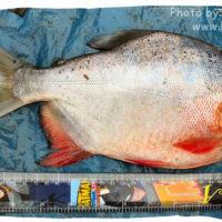 Red Piranha, Pygocentrus nattereri