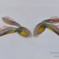 Second abdominal appendage or pleopod of Penaeus monodon