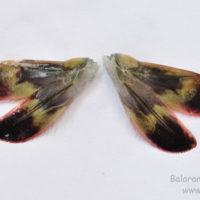 Uropod of Penaeus monodon
