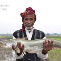 Fisherman with Boal (Wallago attu), Pondua beel