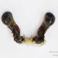 Eye of Penaeus monodon
