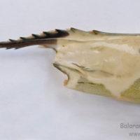 Rostrum and carapace of Penaeus monodon