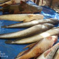 বাঘাইর, বোয়াল ও গুইজা মাছ