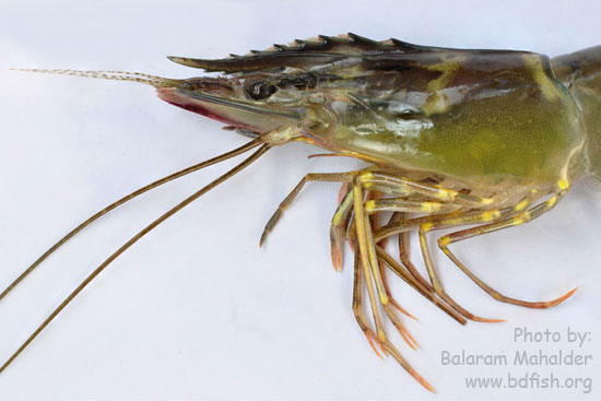 Appendages of Giant tiger prawn, Penaeus monodon
