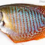 Fishes of Sunamganj Haor Area, Episode 2