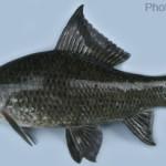 Fishes of Sunamganj Haor Area, Episode 4