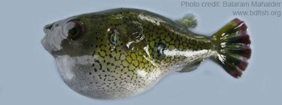 Fishes of Sunamganj Haor Area, Episode 7